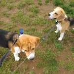 Tony and Oscar (Beagle)