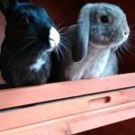 Clover & Thumper