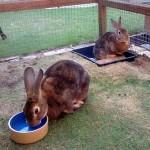 Honey and Bambi the rabbits