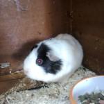 Sparkle the guinea pig
