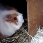 Star the guinea pig